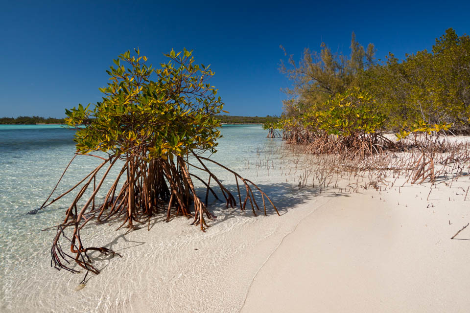 Mangroves Standing in the Magnificent Gin Clear Waters of Half Sound Bay Eleuthera